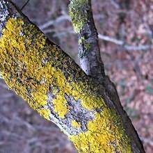 как бороться с лишайником на плодовых деревьях