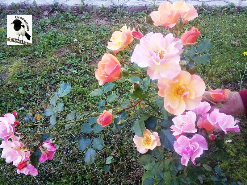 подготовка роз к зимовке в средней полосе