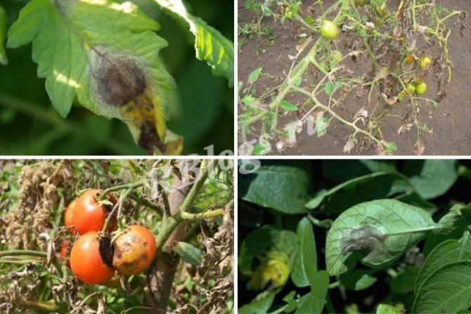 Профилактика фитофторы на помидорах в открытом грунте: методы защиты