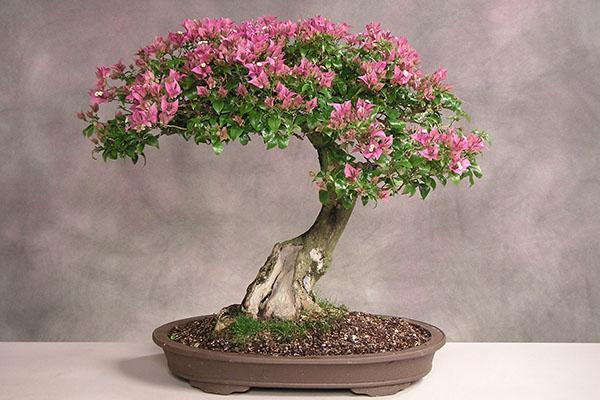 сакура дерево описание