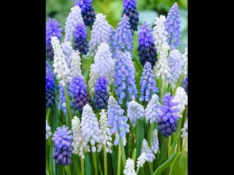Цветы мускари посадка и уход в открытом грунте и домашних условиях