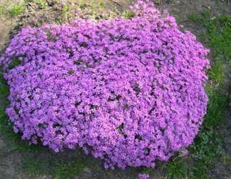 стелющиеся растения многолетники