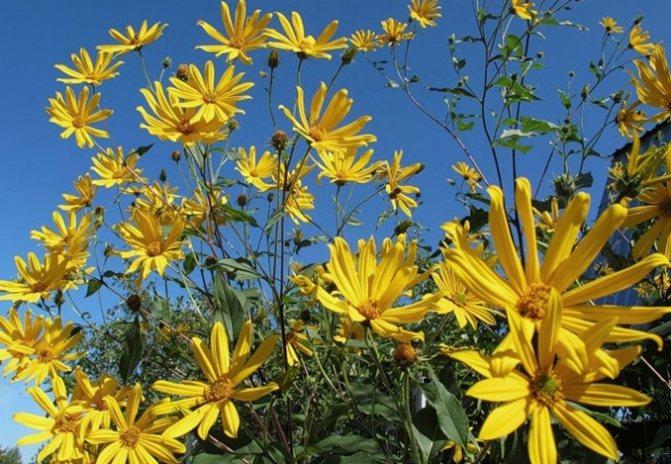 Выращивание топинамбура | cельхозпортал