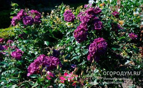 Роза рапсодия ин блю: описание сорта, правила посадки и выращивания