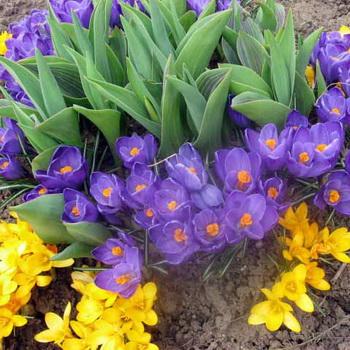 Выращиваем луковичные растения | cельхозпортал