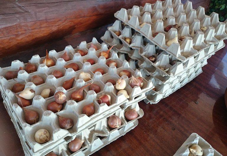 Хранение гладиолусов в домашних условиях зимой