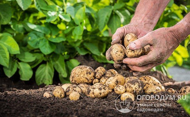 Разбор самогопопулярногоспособа. когда спускать и как хранить картошку в погребе зимой?