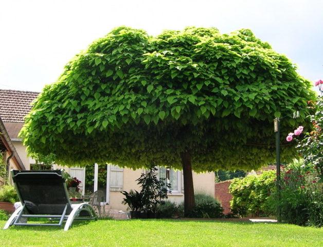 Дерево катальпа: описание и разновидности. использование в ландшафтном дизайне. фото.