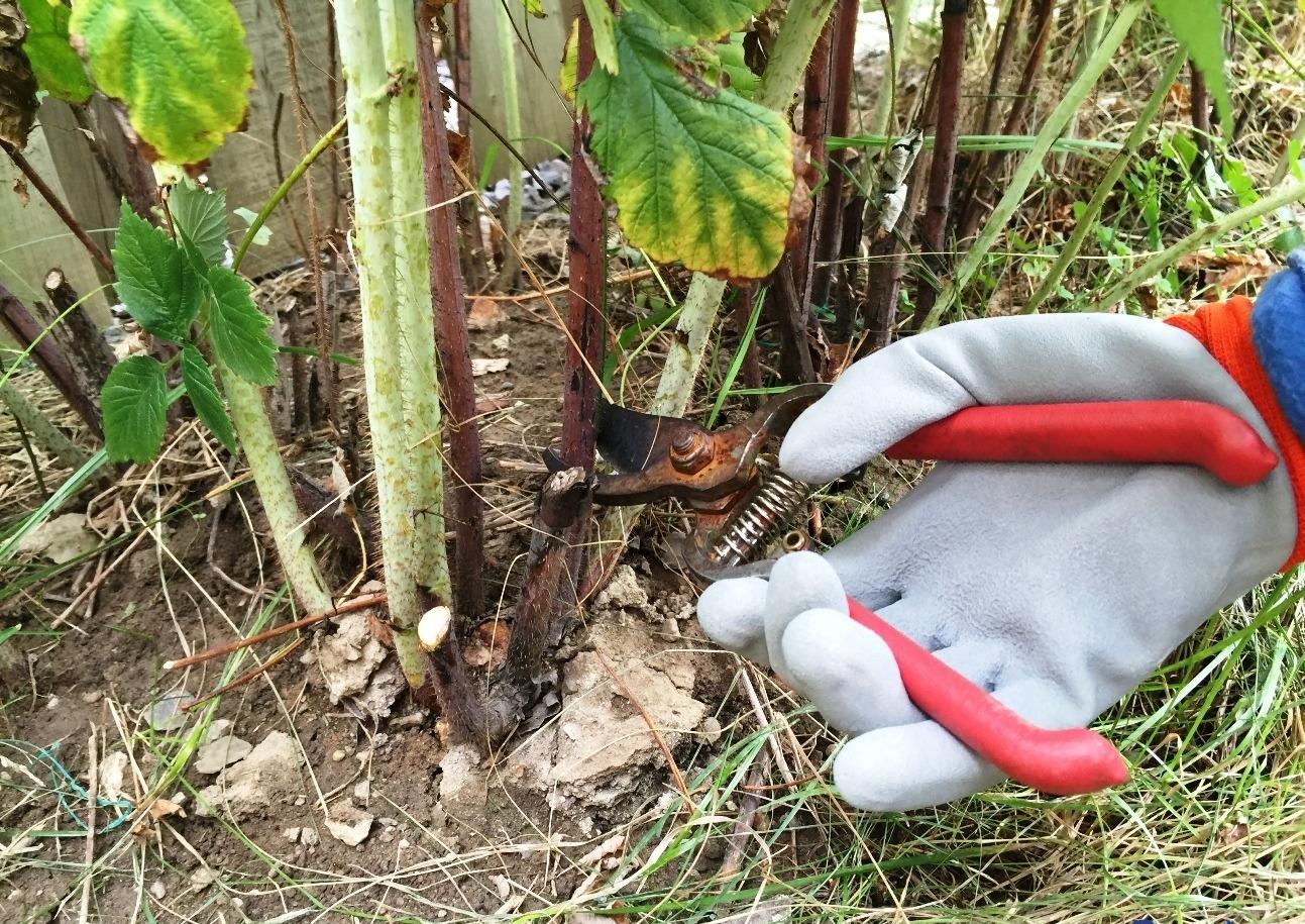Как проводится обработка малины осенью на зиму: полив, подкормки