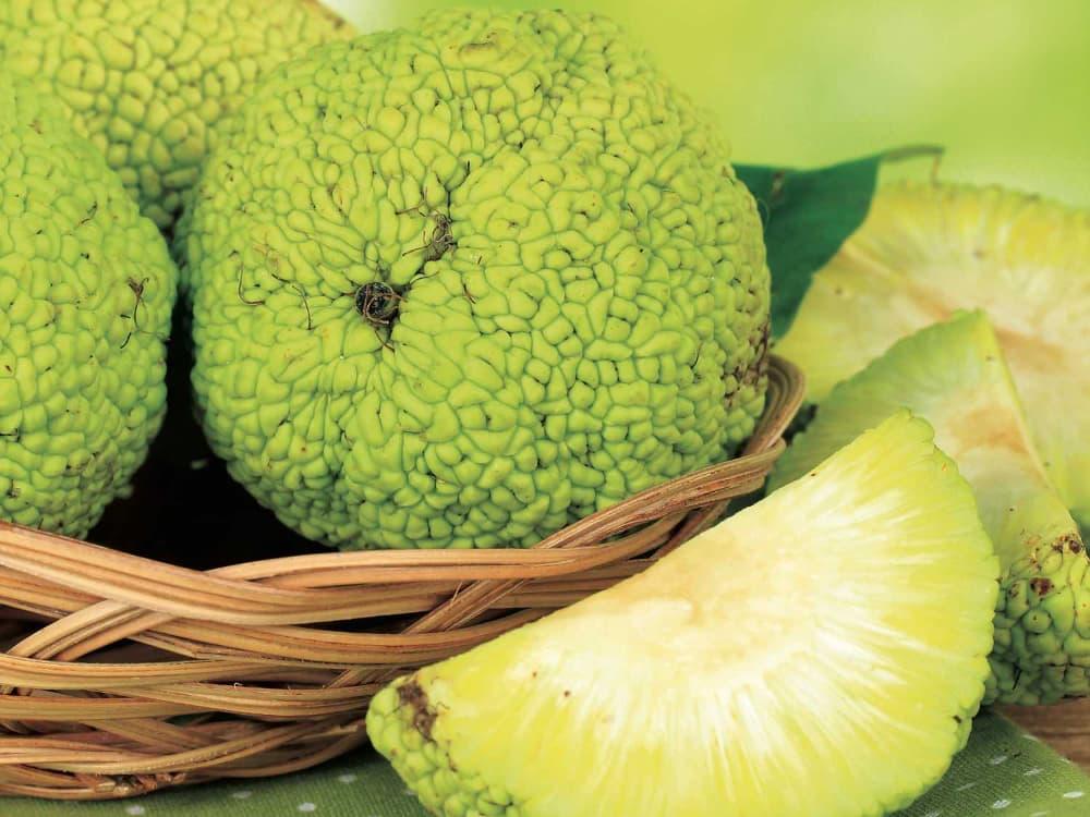 Полезные свойства адамова яблока: лучшие рецепты для лечения суставов, отзывы
