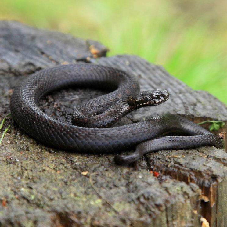 Змеи: как отличить гадюку от ужа и что делать при укусе | | женский мир