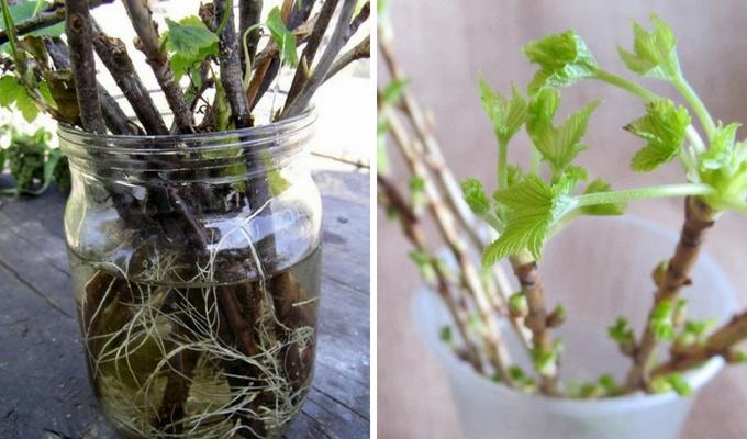 Как размножить смородину черенками