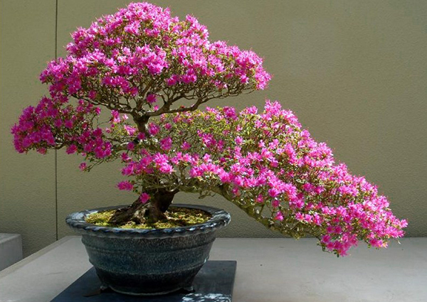 сакура дерево фото