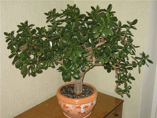 денежное дерево комнатное растение фото