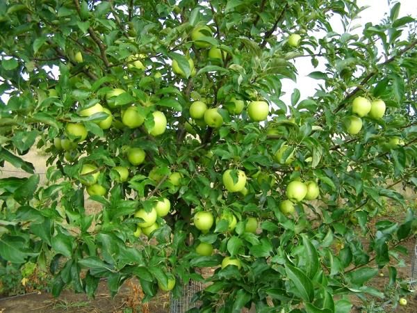 Яблоки ред делишес: описание и характеристики сорта, выращивание, отзывы
