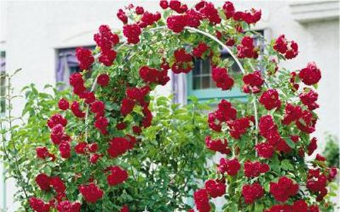 как черенковать плетистую розу осенью