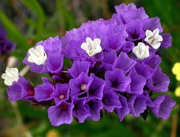 Сухоцветы для дачи