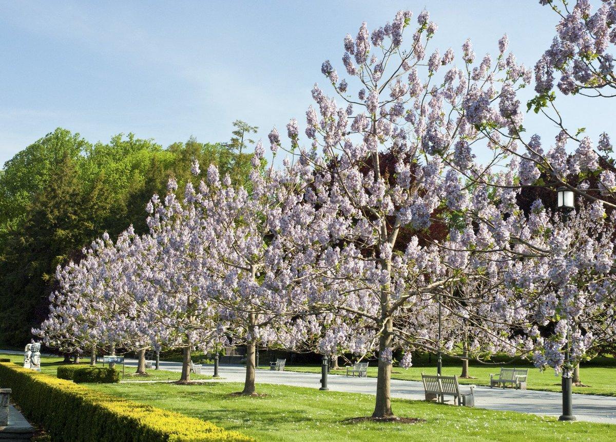 Павловния: фото дерева, описание, выращивание и уход | строительство. деревянные и др. материалы