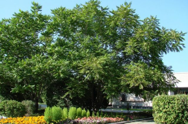 Маньчжурский орех посадка уход и выращивание сортов их болезни и удобрения, размножение и фото