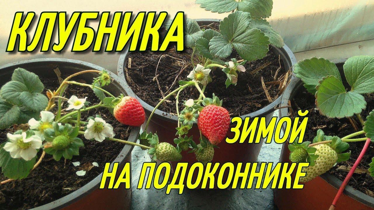 Особенности выращивания клубники