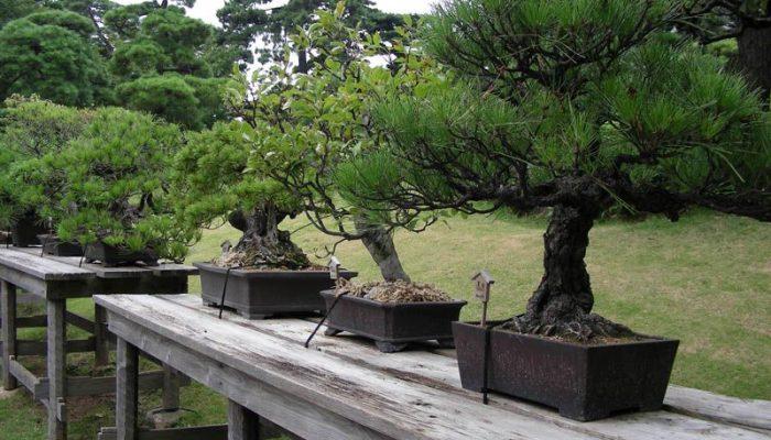 бонсай дерево уход
