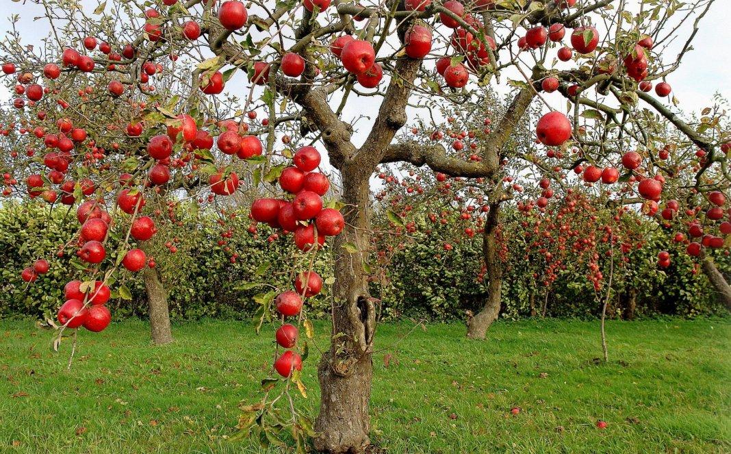 лучшие сорта яблок