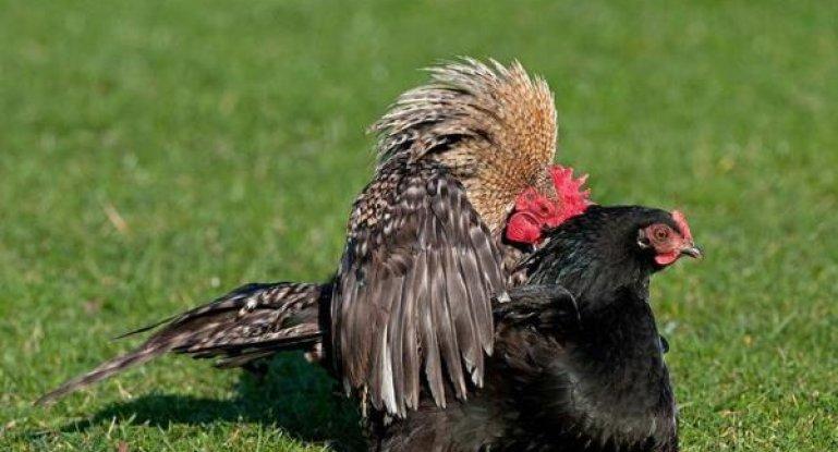 Сонник петухи и курицы. к чему снится петухи и курицы видеть во сне - сонник дома солнца