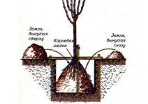 Секреты осенней посадки саженца яблони