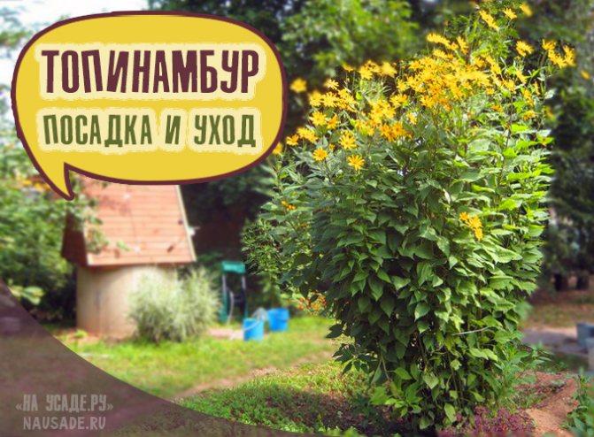 Топинамбур посадка, выращивание, уборка и хранение