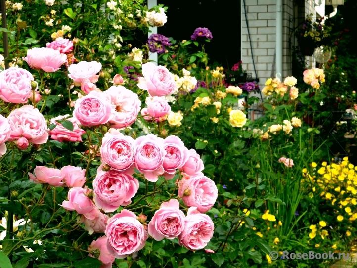 Роза поэзия: фото, описание сорта