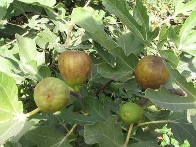 Особенности выращивания инжира в открытом грунте на украине: посадка и уход