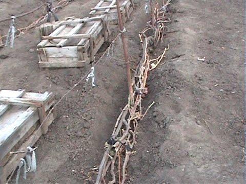 укрытие винограда на зиму в средней полосе