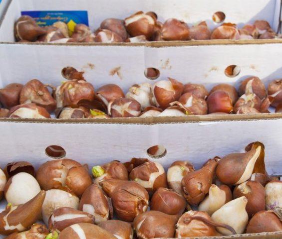 как сохранить луковицы гладиолусов зимой