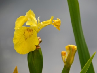 как выглядит цветок ирис