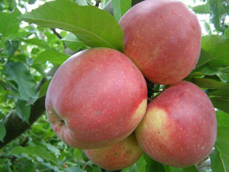 Зимние сорта яблонь для подмосковья: рассказываем про лучшие с фото и описанием
