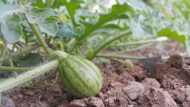 Как вырастить арбуз на даче: выбор сорта, посадка в открытый грунт, правильный уход, сбор урожая