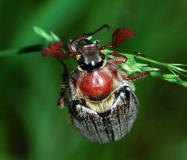 Личинки майского жука: как избавиться, борьба с личинками, средство