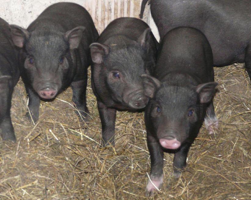 Секреты разведения вислобрюхих вьетнамских свиней в домашних условиях