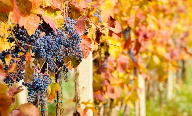 Чем и как укрывать виноград на зиму: способы зимнего утепления винограда
