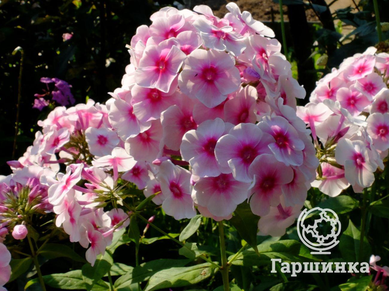 Флоксы: сорта с мелкими цветками на supersadovnik.ru