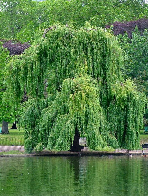 Декоративные деревья подмосковья: от классики до экзотики