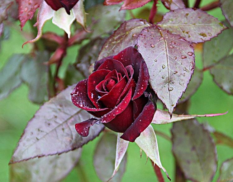 5 простых шагов как подготовить розы к зиме