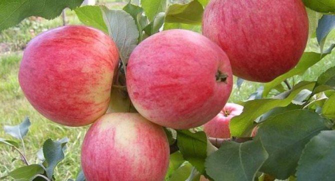 Подкормка яблони осенью навозом, золой, железным купоросом, мочевиной, норма внесения, сроки