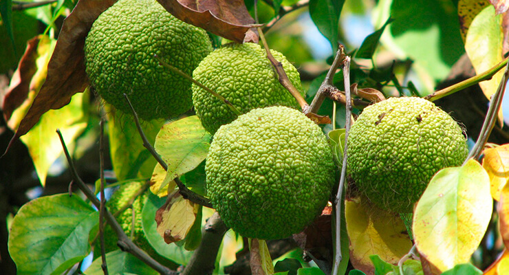Маклюра (адамово яблоко): лечебные свойства, как приготовить и применять, рецепты для суставов, отзывы