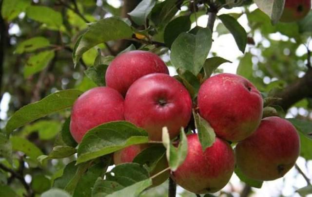 Яблоня лобо: описание сорта и фото, характеристики selo.guru — интернет портал о сельском хозяйстве