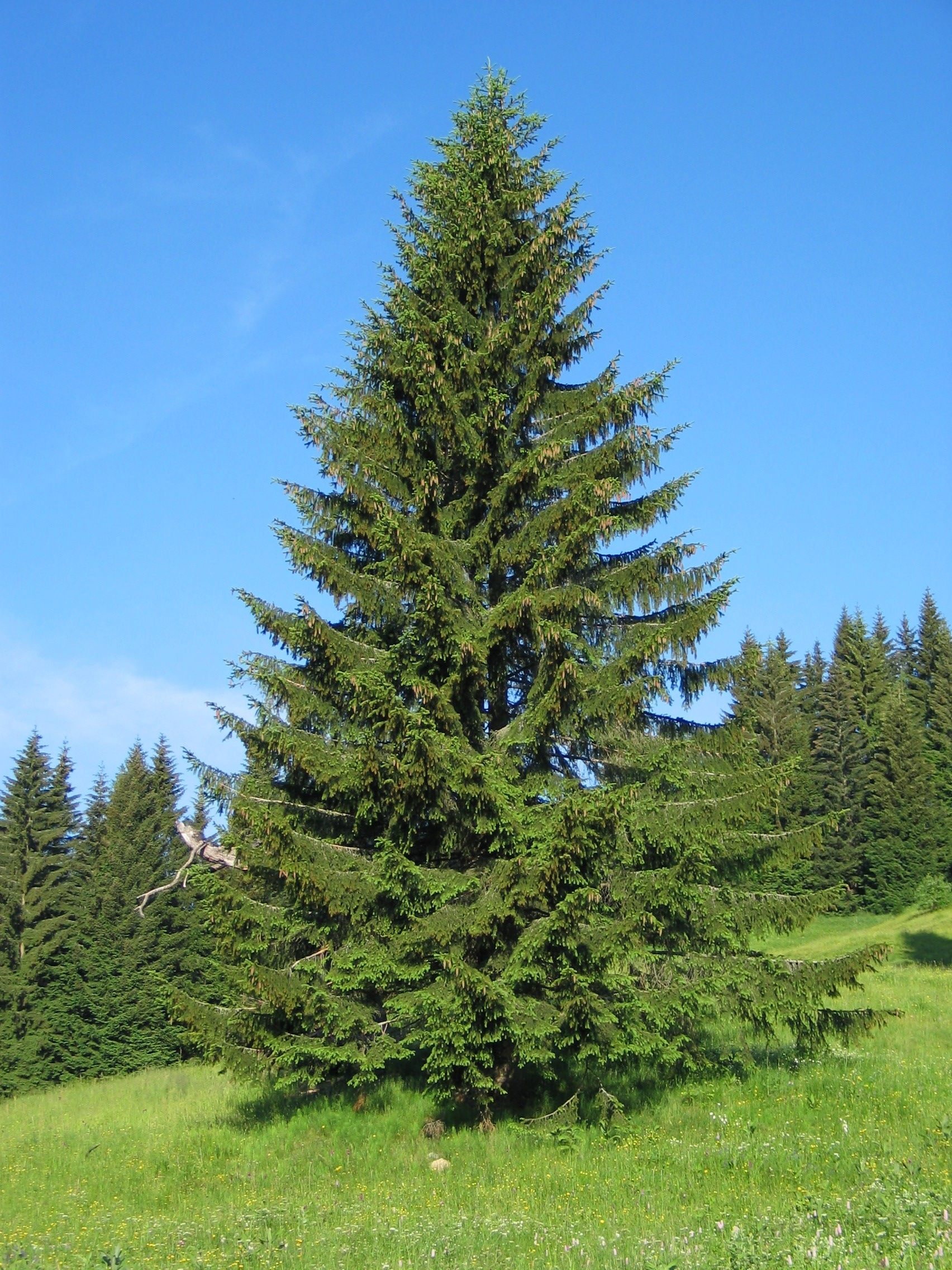 Чем ель отличается от елки? 14 фото это разные деревья или нет? отличия по размеру иголок и другим параметрам