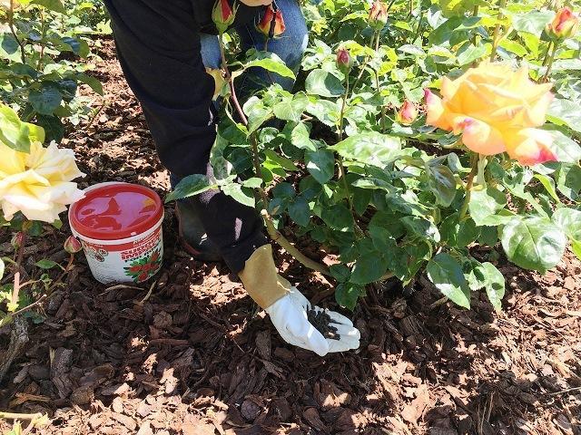 как приготовить розы к зиме на урале