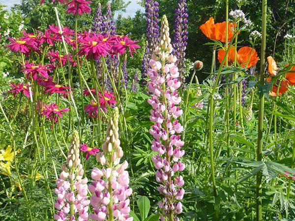 цветы для клумбы цветущие