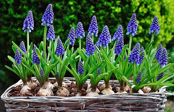 Приветливые и уютные мускари в саду