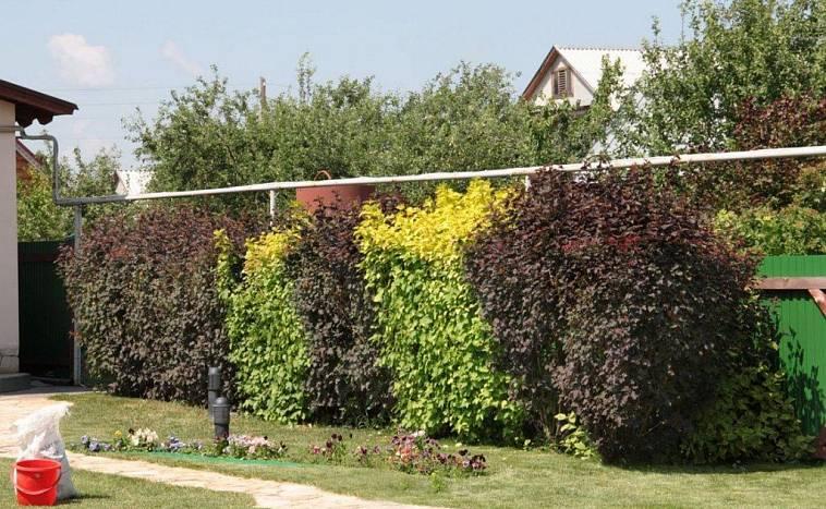 Живая изгородь: 10 лучших идей из чего сделать живую изгородь на даче